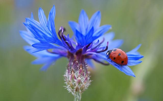 Fleur de bleuet