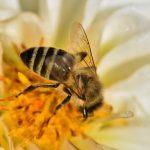la routine d'une abeille qui butine